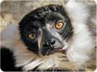 madagaskara lemuri